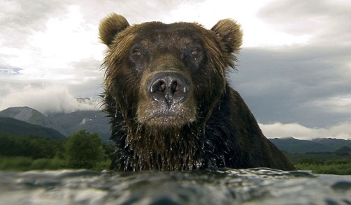 Brown bear. Photo: Sergey Gorshkov